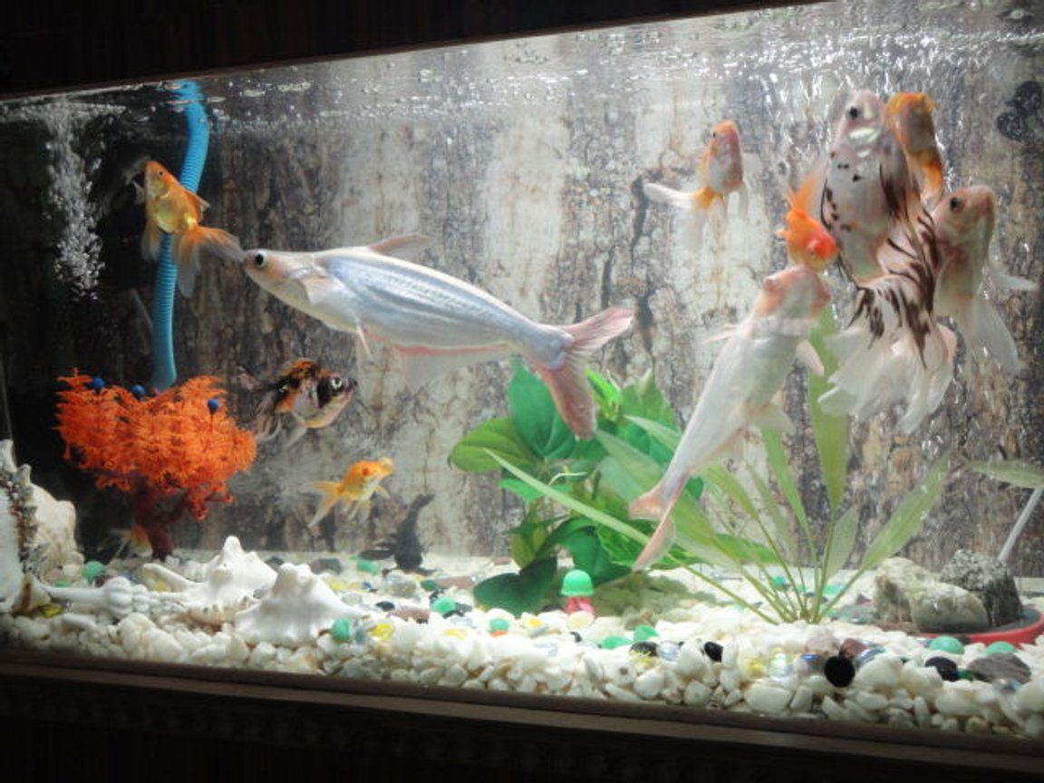 fish tank picture - gold community with non aggressive sharks,pelco,snail&turtle