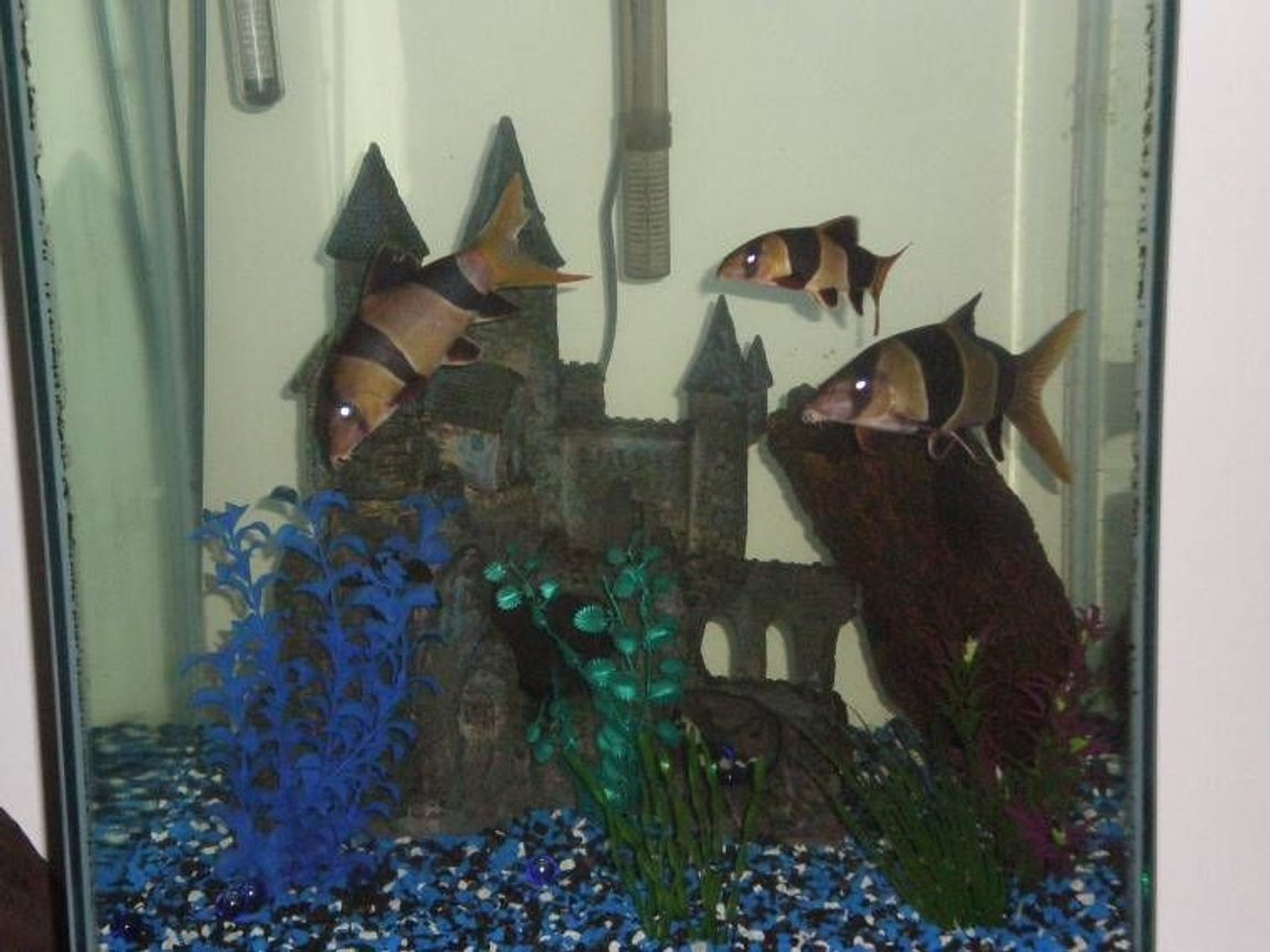fish tank picture - CLoWn LOACHES