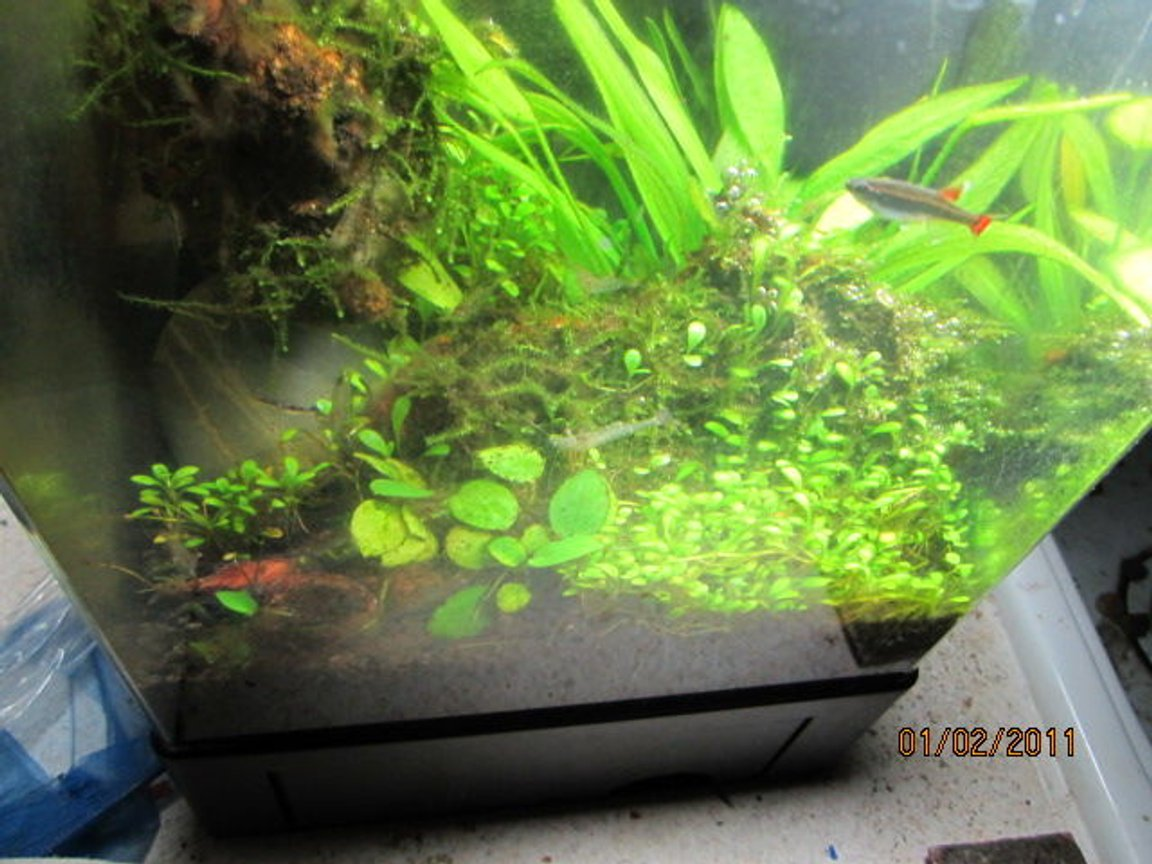 fish tank picture - 1.5 gallon cube,diy co2,10 watt 6500 cfl,eco complete substrate,sword,gloss,christmas tree moss