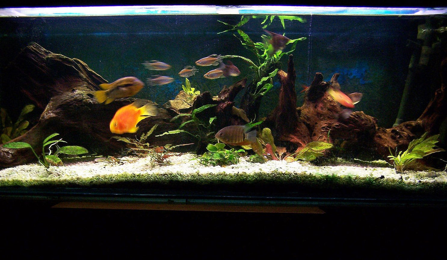 fish tank picture - Various community fishes and cichlids (Frontesza, Rainbow, Severum, Angel, Parrot) with some live plants in a 4ft by 1.5 ft tank