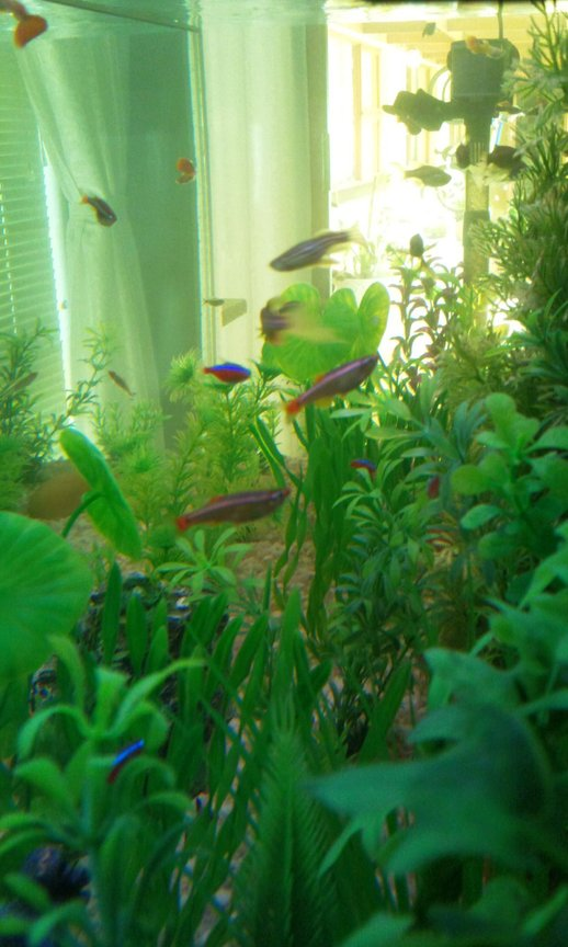fish tank picture - My cloud tails(White mountain minnow's)