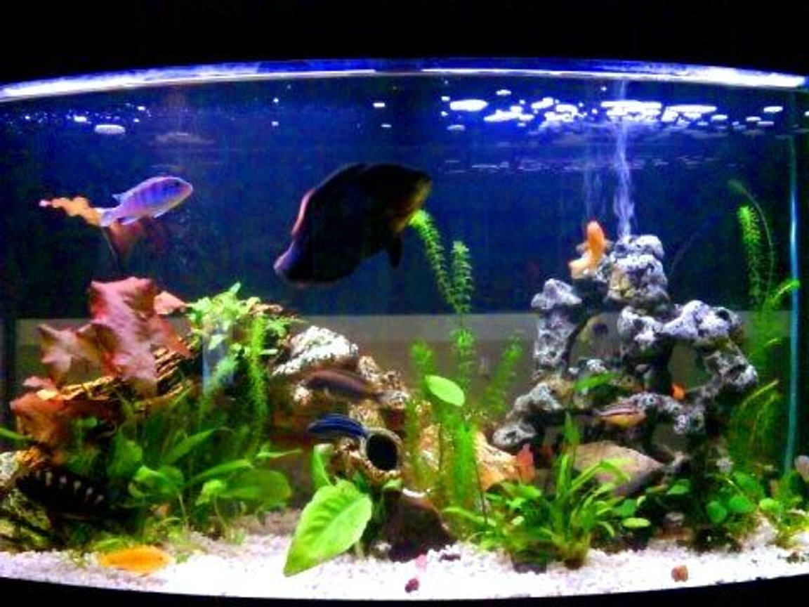 fish tank picture - Cichlids