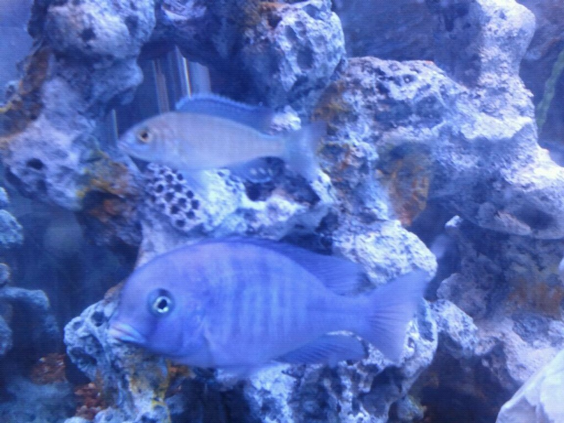 fish tank picture - African cichlid