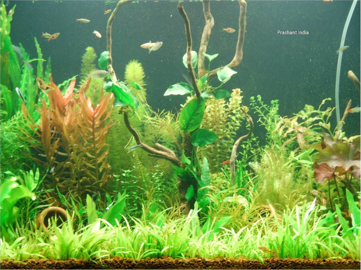 fish tank picture - My Planted Tank my love
