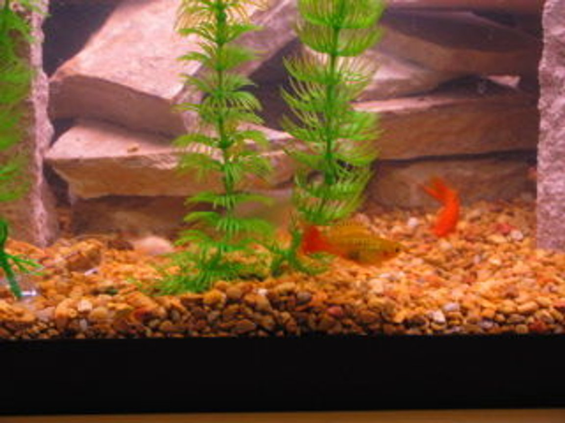 fish tank picture - marigold varieta,and red velvet sword tail
