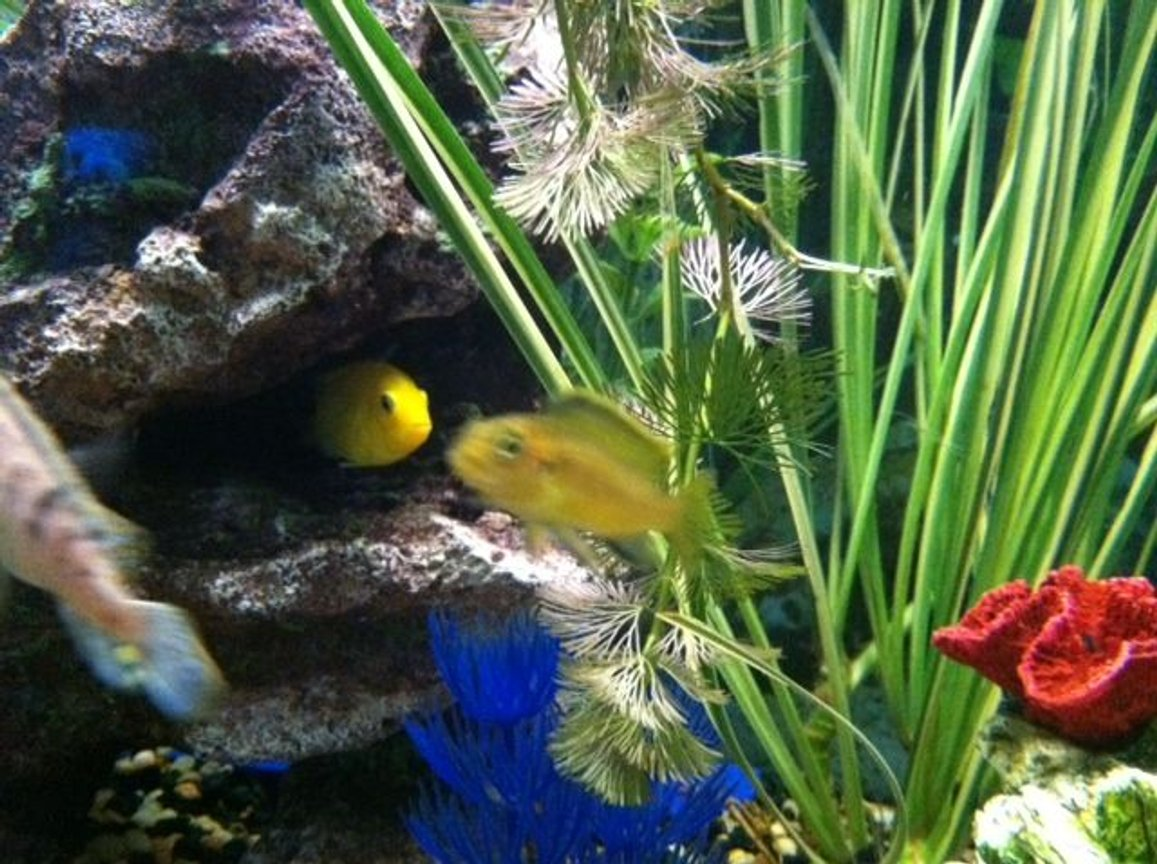 fish tank picture - Bumble Bee & Yellow electric...