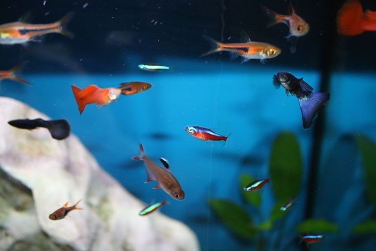 fish tank picture - Harlequins, Guppies, cardinals and Rosy tetras.