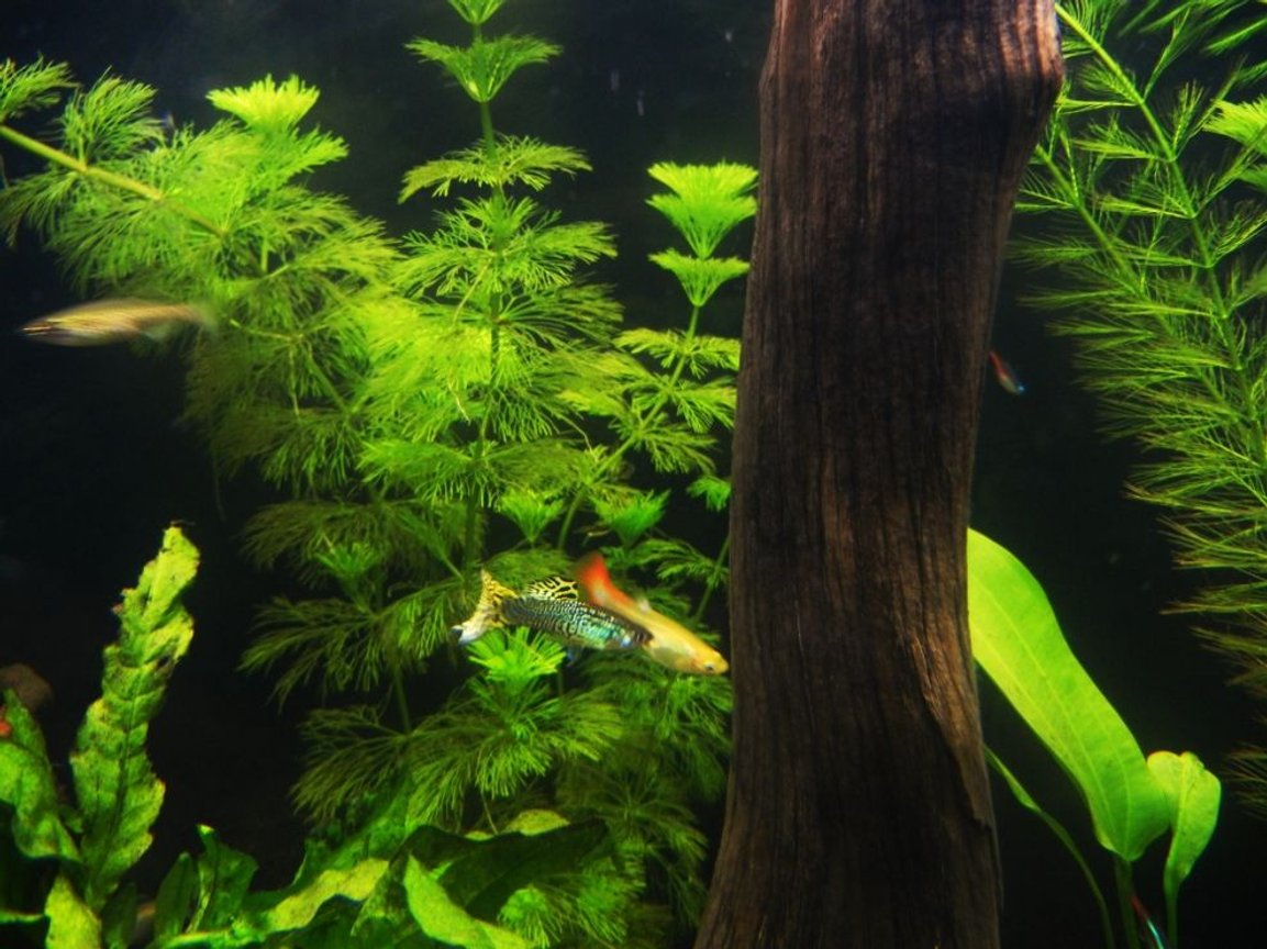 fish tank picture - Guppies