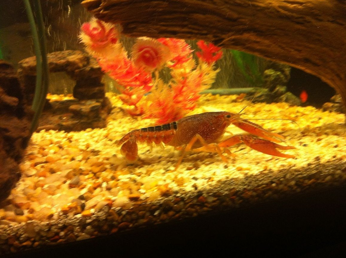 fish tank picture - My noble crayfish