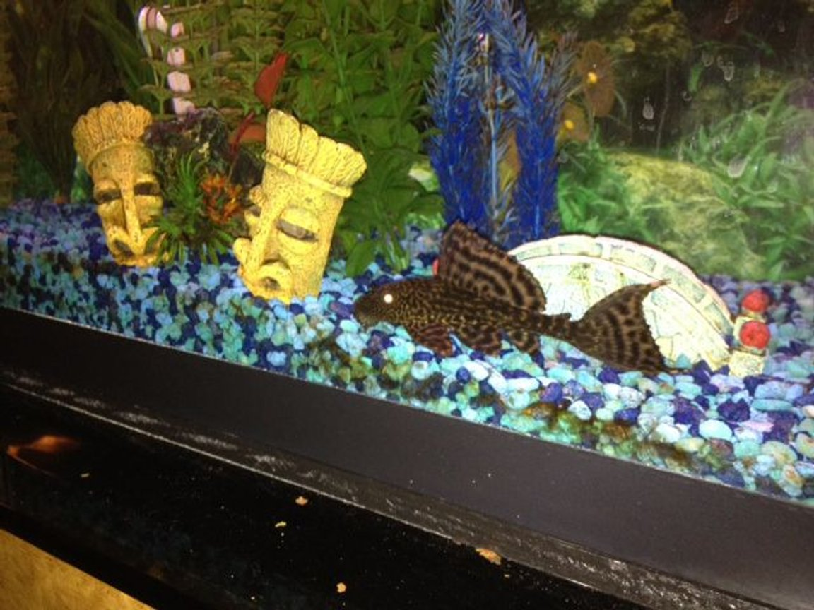 fish tank picture - Here is my sailfin pleco when he was younger. I am amazed how intelligent he seems to be - for example he imitates the other fish in the tank and tries to eat food off the water surface, and he follows me around as I move around the room, and competes with the angel for my attention. Is this unusual for plecostomus catfish?
