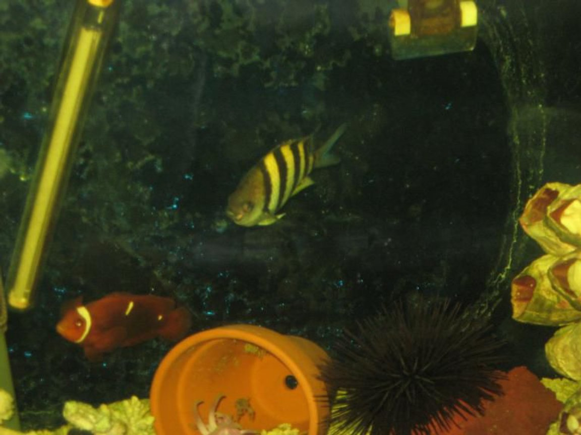 fish tank picture - pic of the maroon clown