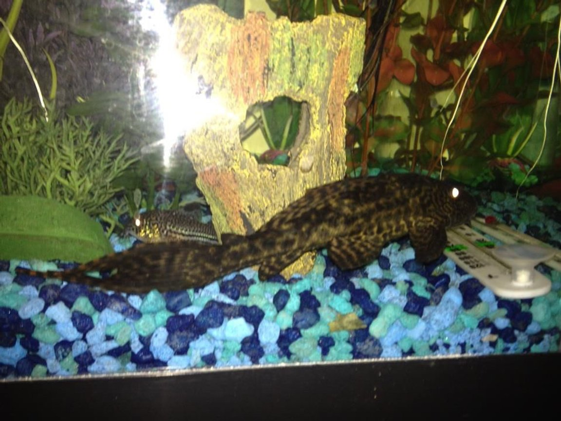 fish tank picture - My Plecostomus has adopted the thermometer I just bought and attached to the side of the glass with a suction cup. He pulled the thermometer off the glass and dragged it across the tank to his favorite hangout where he sleeps with it or on it almost every day since then. I think he fell in love with it because it is about the same length, and its suction cup is similar to his suction mouth.