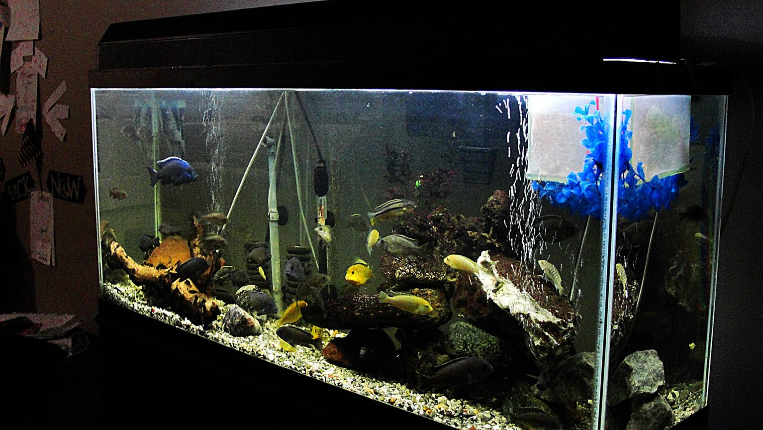 fish tank picture - 55 Gallon Cichlid Tank - Elongated w/ Breeder Net. I have a great picture of a pair spawning
