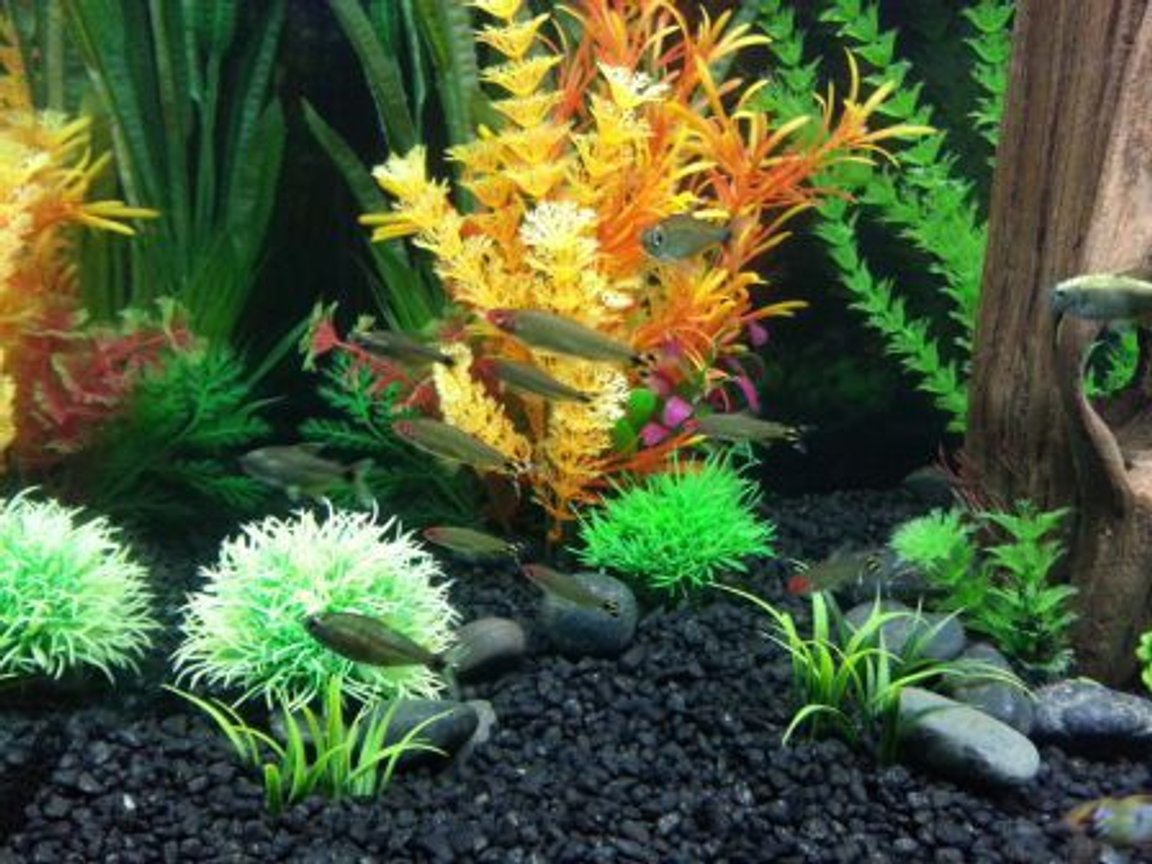 fish tank picture - rummynose