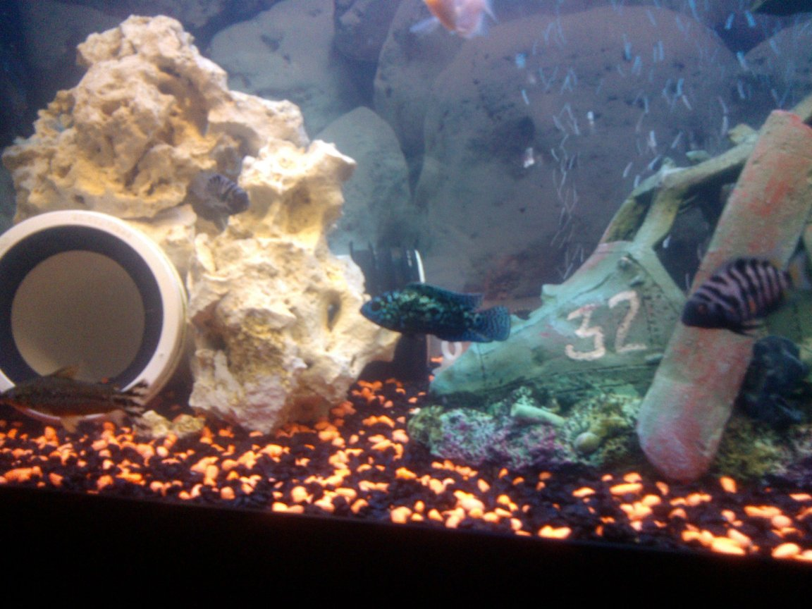 fish tank picture - pvc piping with coral rock around it. jack dempsey is in the middle, with 2 convicts at either side of him.