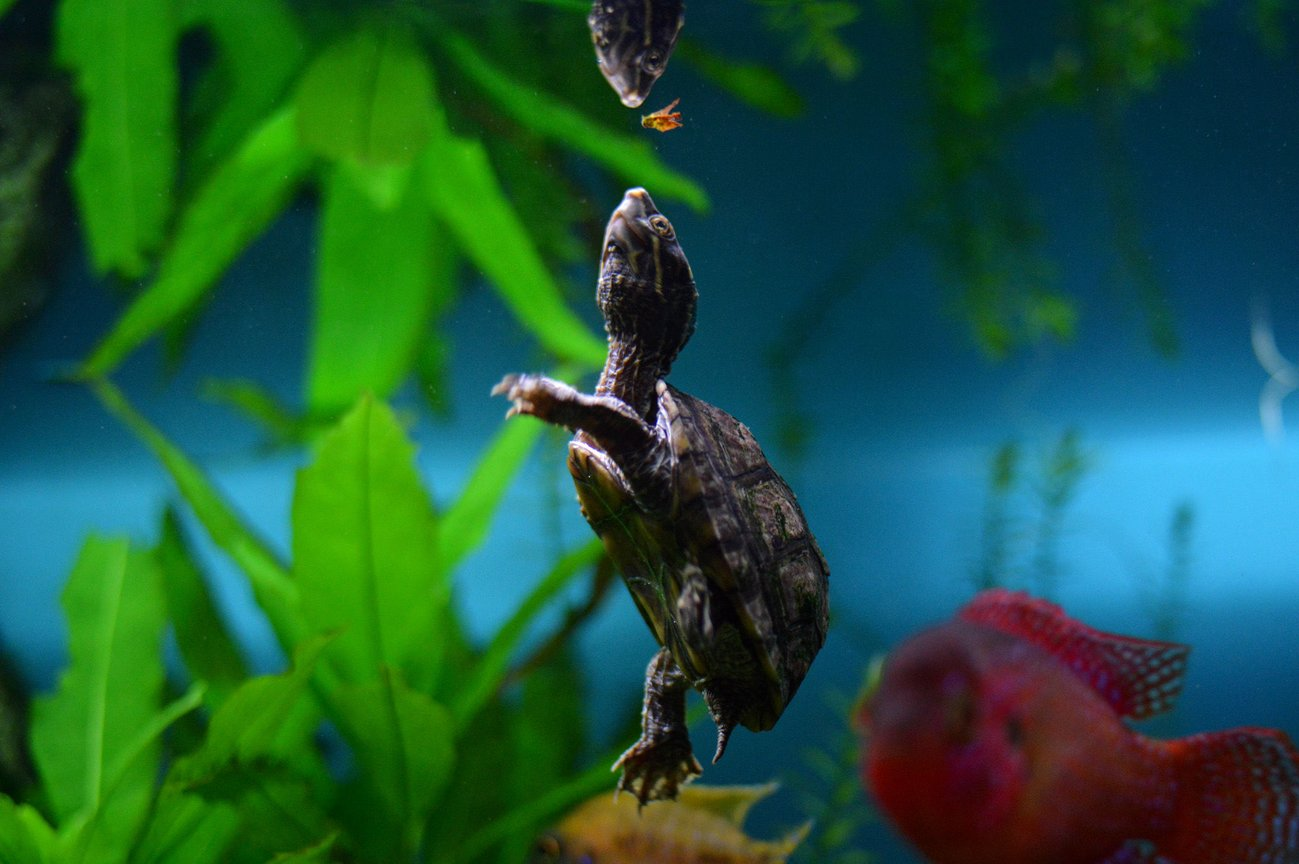 fish tank picture - Small musk turtle inhabitant