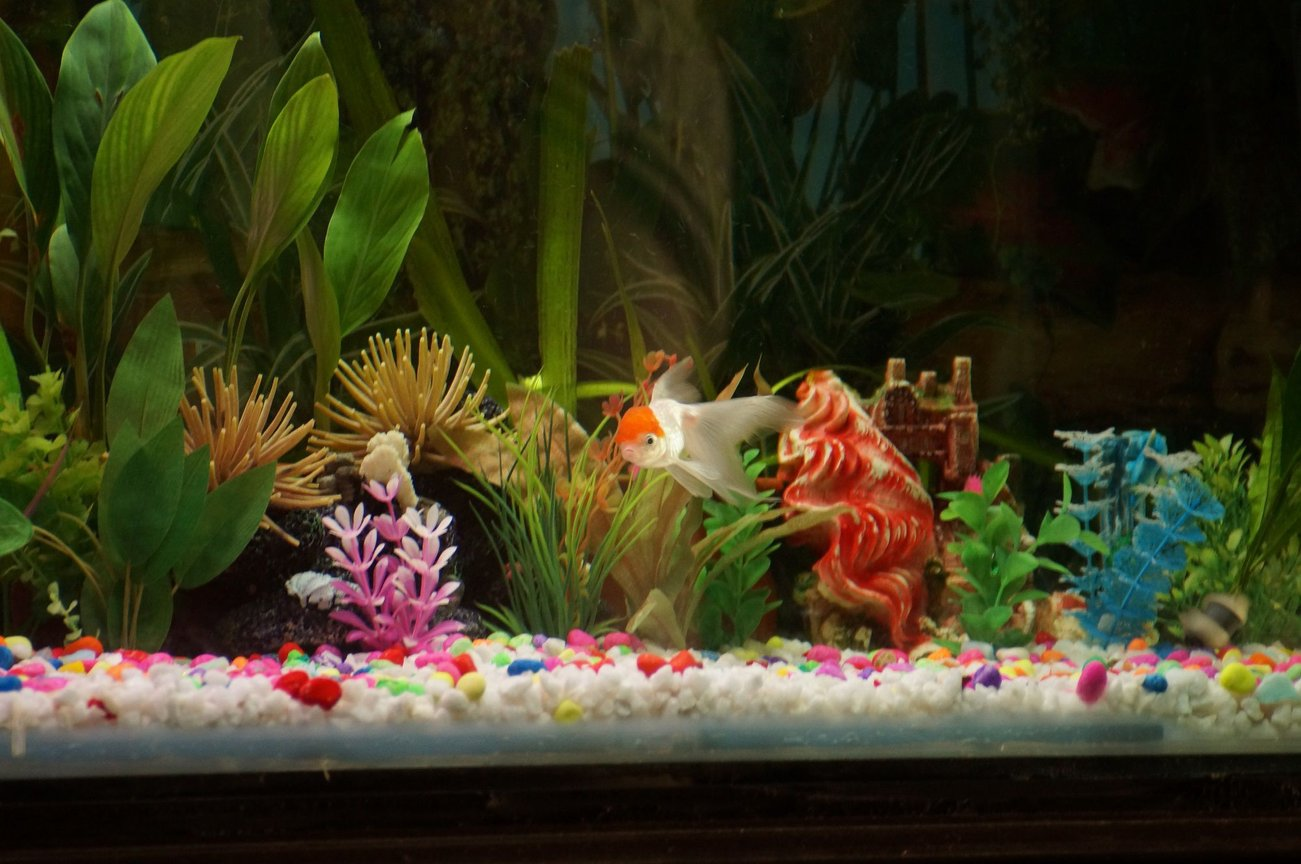 fish tank picture - Redcap