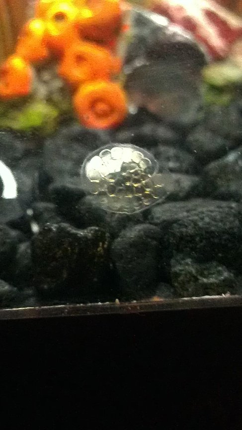 fish tank picture - My trap door snails are laying their eggs!