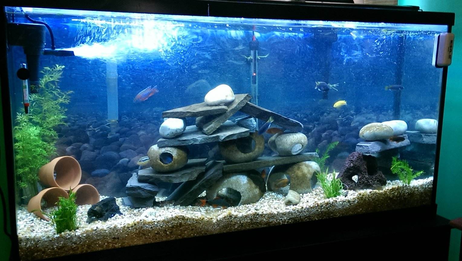 fish tank picture - 60 gal African cichlid