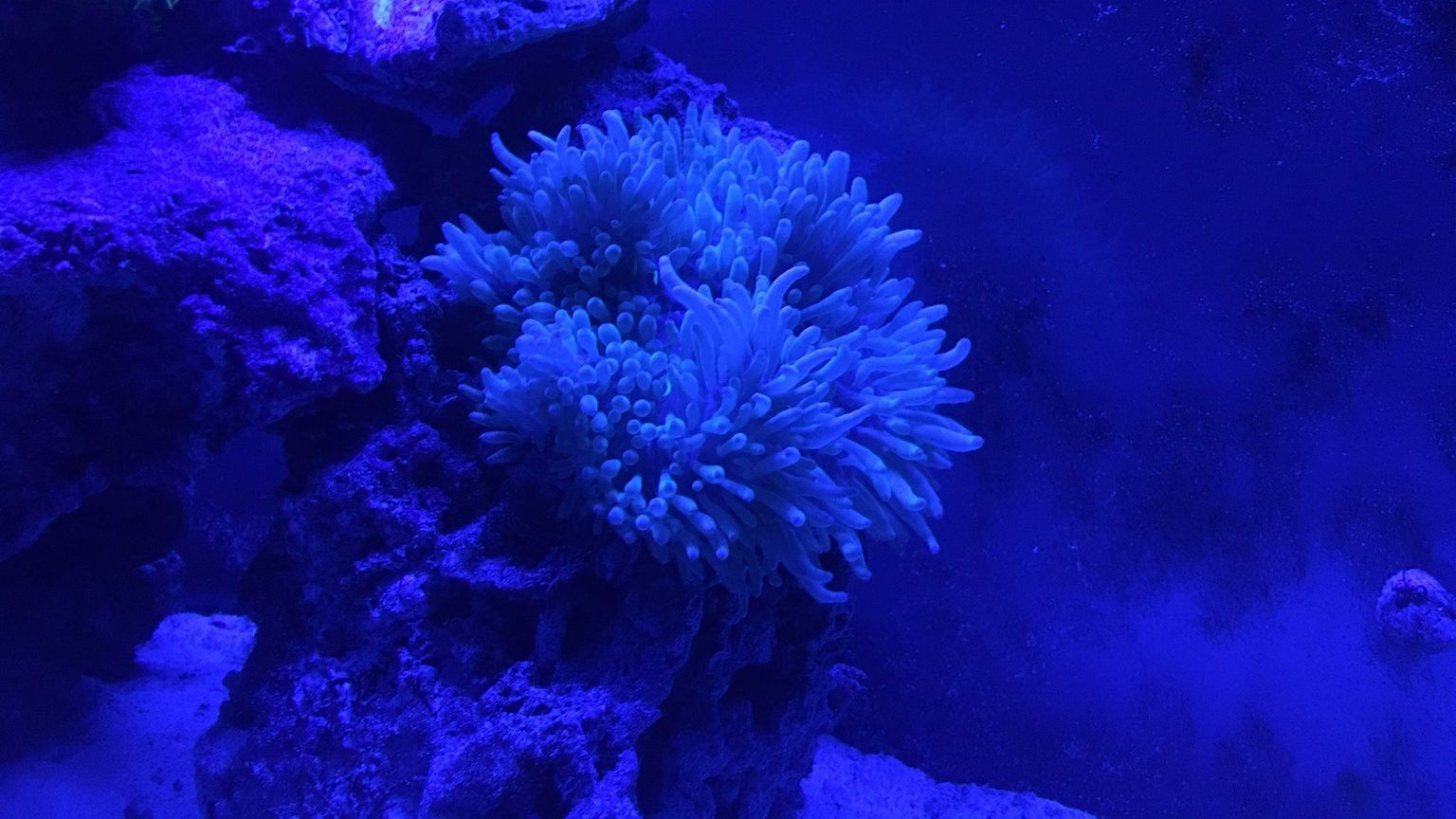 fish tank picture - Sebae anemones such a beautiful sight. Puts me in a trance watching it.