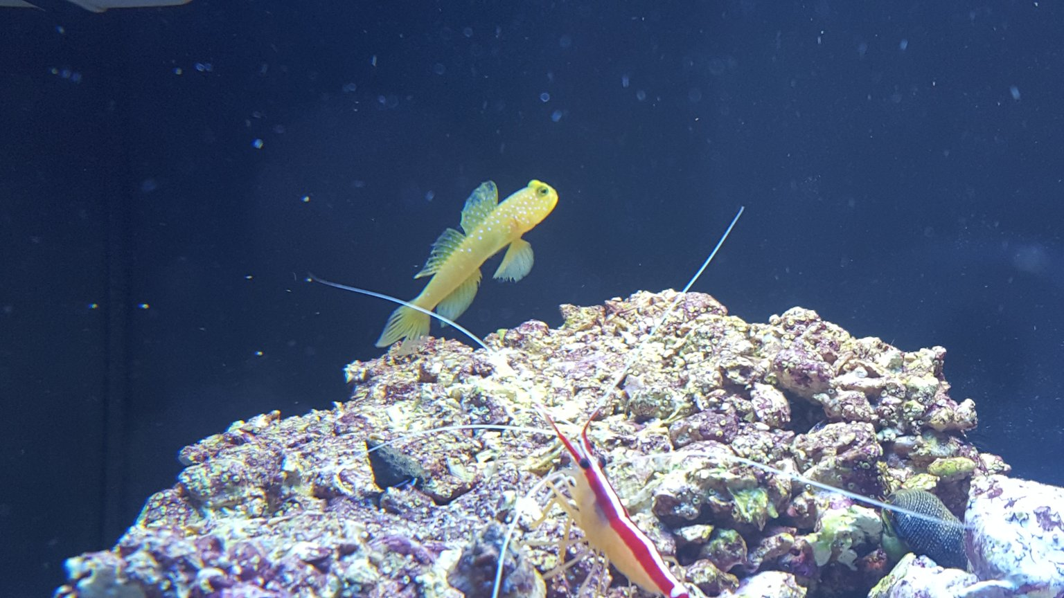 fish tank picture - Yellow watchmen goby and cleaner shrimp