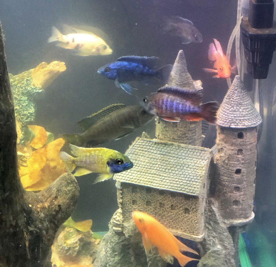 fish tank picture - All 8 peacock cichlids in one picture in my 47 gallon 30 inch tall tank!