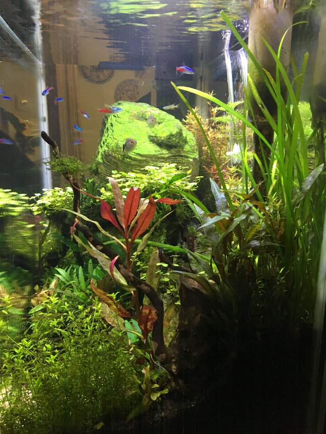 fish tank picture - This is the other side of the tank. Again, you can make out the sloping profile. A piece of drift wood that looks like a nice tree seems to come right out of the red Alternanthera Reineckii which adds a nice deep red to this side of the tank. The bright green bushy stem plant that has done well in the front side of the tank is Hemianthus micranthemoides and the jungle grass is in the back as a nice background plant.