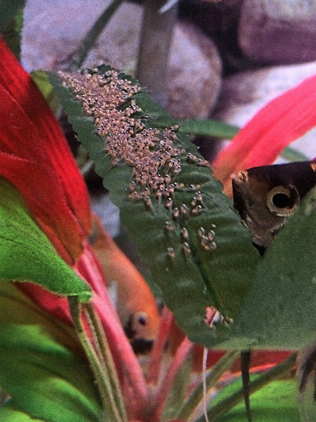 fish tank picture - Angelfish and their newly hatched fry