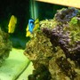 fish tank picture - Yellow and hippo tang with the clam