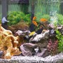 fish tank picture - Chiclids
