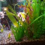 fish tank picture - Another view from end to end with paradise gourami at bottom.