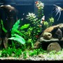 fish tank picture - loach and redtail shark on a stroll.
