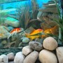 fish tank picture - Another golsfish