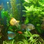 fish tank picture - Discus & Angels planted tank