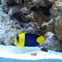 fish tank picture - Bicolor angelfish