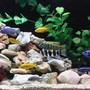 fish tank picture - Venustus +Yellow labs+Johanni+Blue peacock+Blue Dolphin +Frontosa