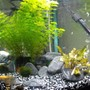 fish tank picture - My betta tank male, 2 female, 5 tetras and 3 bulldog plecos