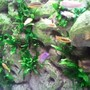 fish tank picture - close up of Malawi tank