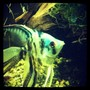 fish tank picture - Blue marble angel
