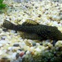 fish tank picture - Bristlenose Catfish