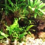 fish tank picture - Java Fern.