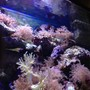 fish tank picture - Corals & clown