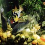 fish tank picture - Cory cats with German Blue Ram
