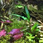 fish tank picture - I planted the dwarf lily in a bed of some creeper which has not done all that well, but I do think that the bright purple of the plant really pops out within the bed of green on this side of the tank.