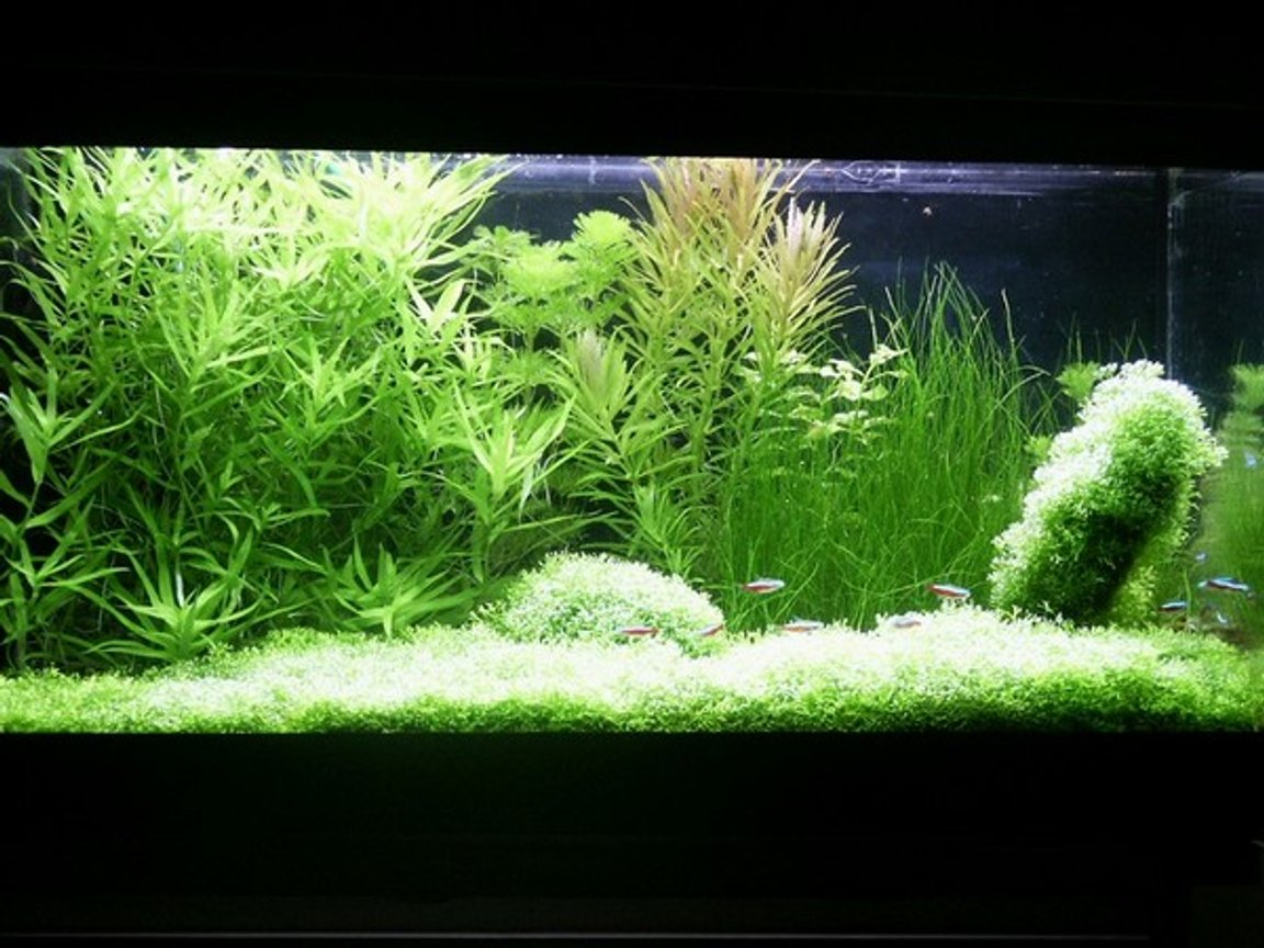 planted tank (mostly live plants and fish) - Volume: 65x32x34 cm, 70 litres (15 galons) Lighting and photoperiod: 3x 20W (1000lm, 4000K), 11h for day Description of CO2 System: DIY project (CO2 reactor, JBL CO2 Vario - diffuser) Plant spiecies list: Riccia fluitans, Heteranthera zosterifolia, Cabomba caroliniana, Limnophila aromatica, Ludwigia repens green, Eleocharis acicularis, Limnophila aquatica Fish and invertebrate spiecies list: 15 x Cardinal tetra (Paracheirodon axelrodi), 2 x Siamese algae-eater (Crossocheilus siamensis), 4 x Otocinclus mariae The tank was set up in October 2003. The subtratum is gravel without any fertilizer. Plants were bought alomost in the same time. Aquascape is my own idea. I havent got any serious problems with algae (only incidentally). I add my own-made firtelizer and also N, P and K. Most part of plants is green (except Limnophila aromatica). Fishes and plants create natural contrast. Water parameters: pH=6,2-6,6 gH=10 kH=3 NO3=10 NO2=0 PO4=0,5