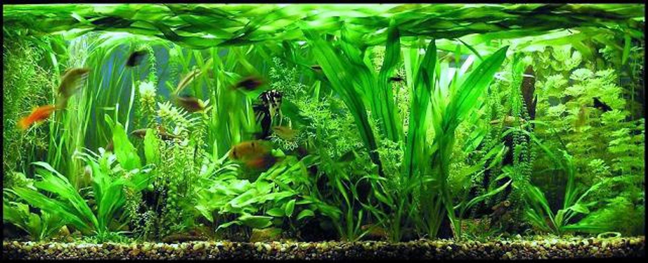 planted tank (mostly live plants and fish) - Size: 130x50x50cm; Lighting: 3x 36 W OSRAM LUMILUX PLUS ECO; CO2 System: none !!!;
