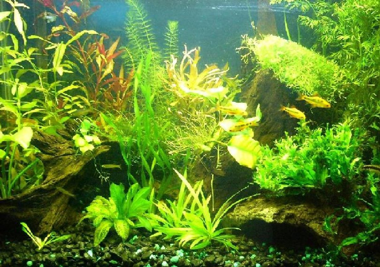 20 gallons planted tank (mostly live plants and fish) - My first planted tank