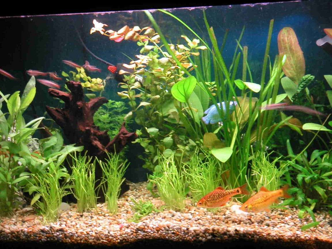 21 gallons planted tank (mostly live plants and fish) - 4X Golden Barbs, 2X Gouramies, 8X White Cloud Mountain Minnows, 1X Bristlenose Plec, 1X Siamese Algae Eater. I use and Eheim External Filter and Trioph lighting. Plants : Ludwigia Repens, Echinodorus x barthii.Lilaeopsis and Hygrophila Corymbosa