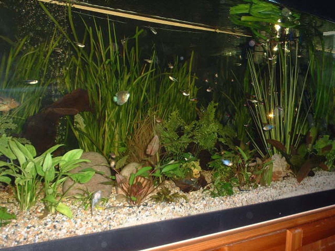 planted tank (mostly live plants and fish) - 400 litre planted community tank