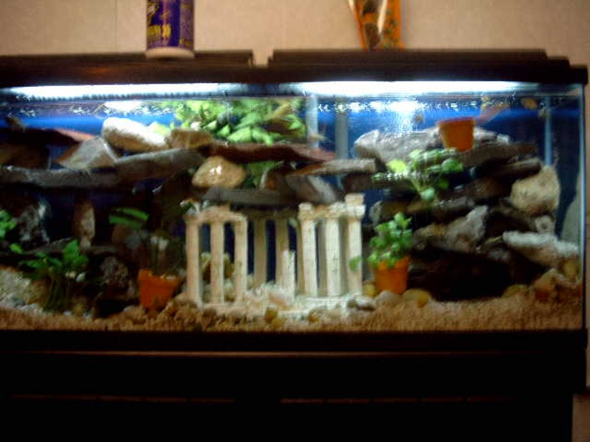 55 gallons planted tank (mostly live plants and fish) - cichlid tank, 55 gal, built caves out of slate rock found in TN